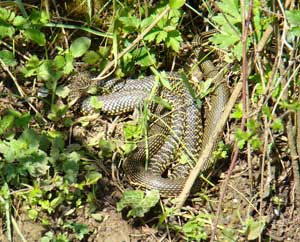 basking whip snake france