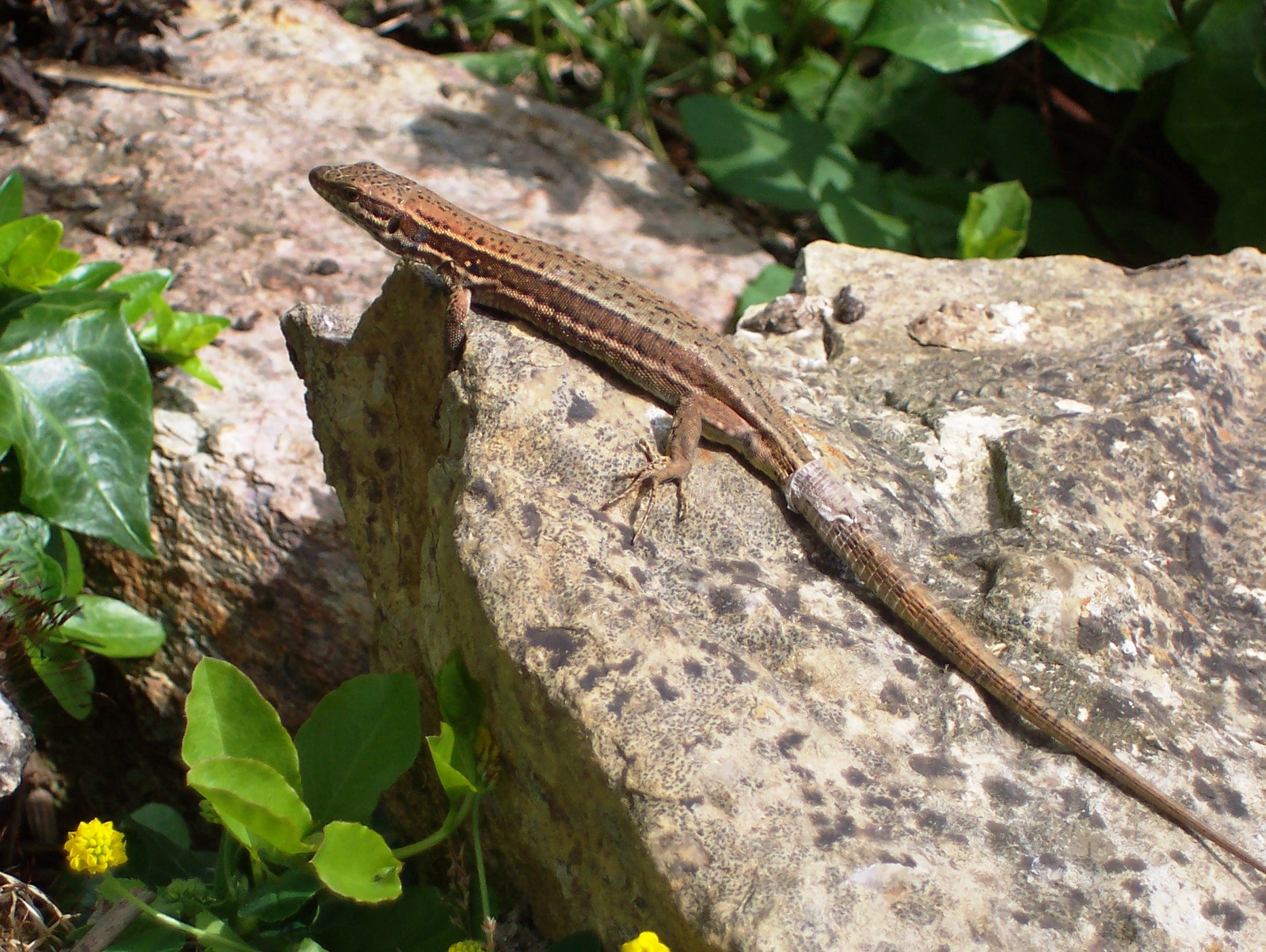 Lizards and Snakes in France