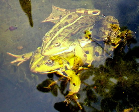 Water Frogs in France