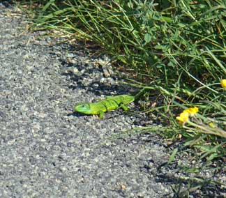 Lizards on roads