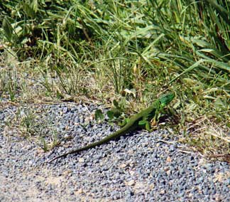 lizards on roads france