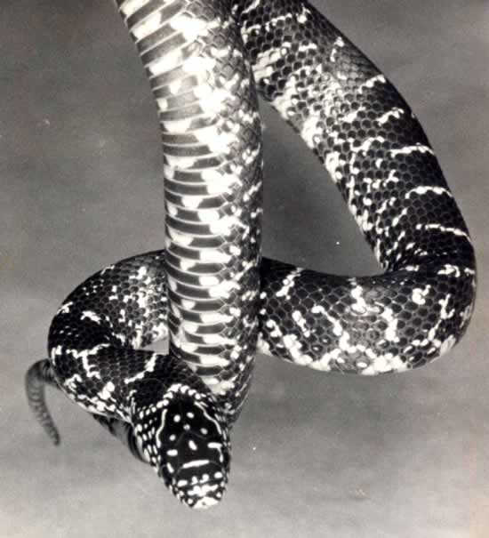 American King Snakes